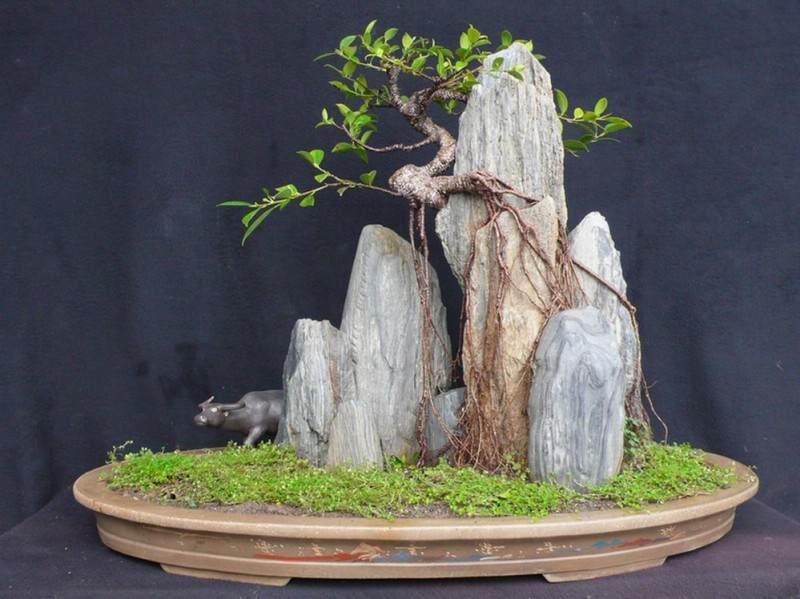 中国榕树盆景交易网