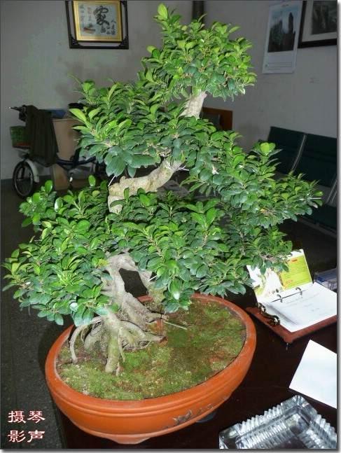 带着独创榕树盆景技术印度授艺