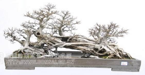 赏黄明山的榕树盆景《瑞气祥云》