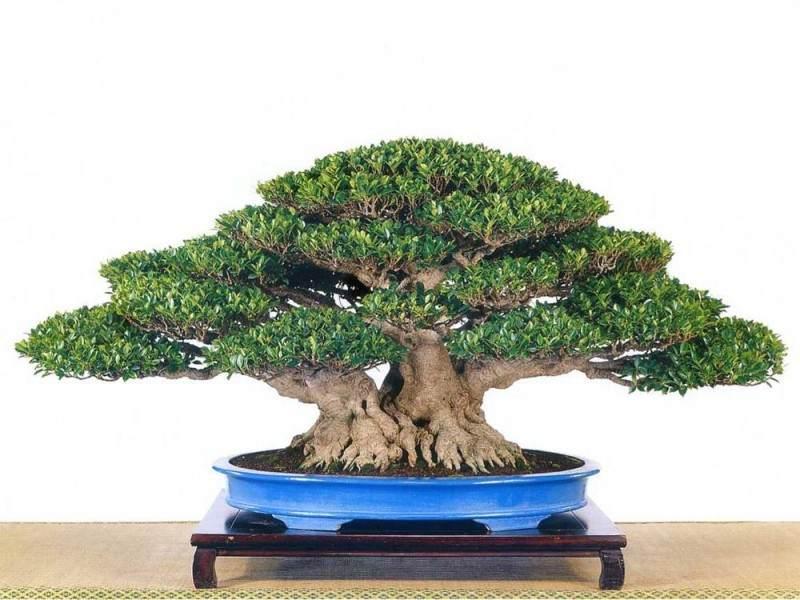 中国榕树盆景之乡的榕树盆景产值达到上亿元