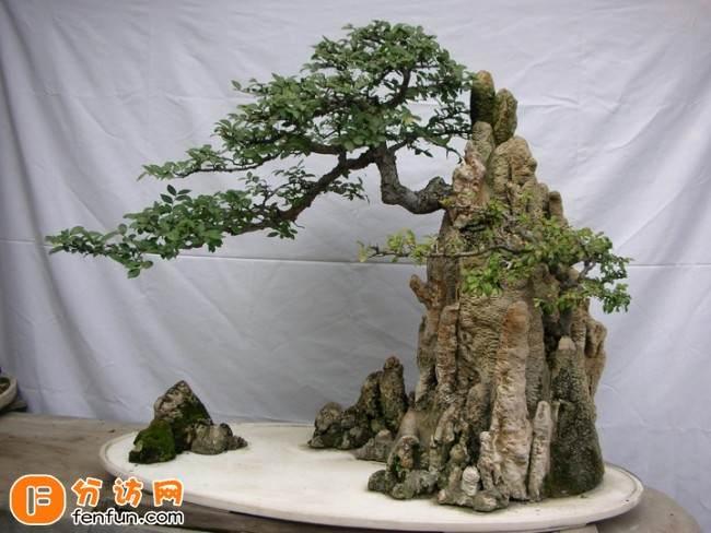 浙江:罗汉松盆景价格不菲 可卖出几十万元的高价