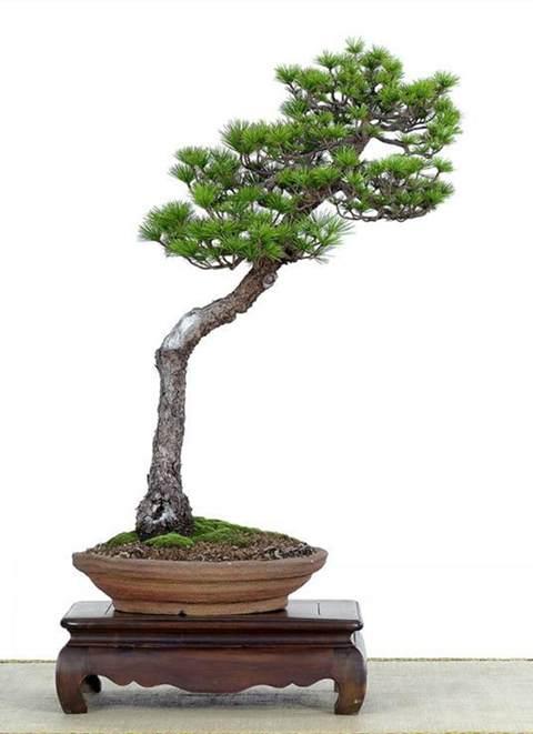 大规格绿化苗木和树桩盆景市场前景不错