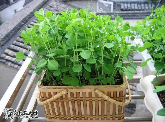 有什么植物阳台盆栽能够在夏日暴晒