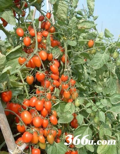 果蔬也能做盆栽阳台转身变农场