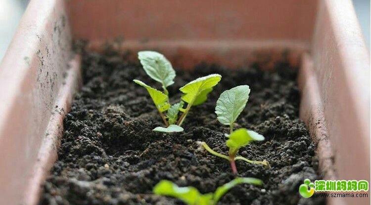 樱桃萝卜的阳台盆栽种植发芽的方法