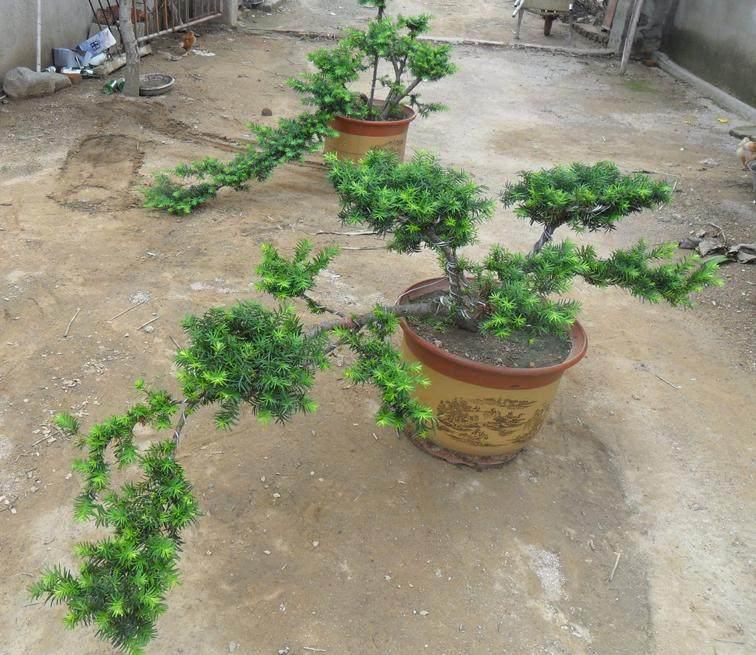 村民们广泛种植美国曼地亚红豆杉