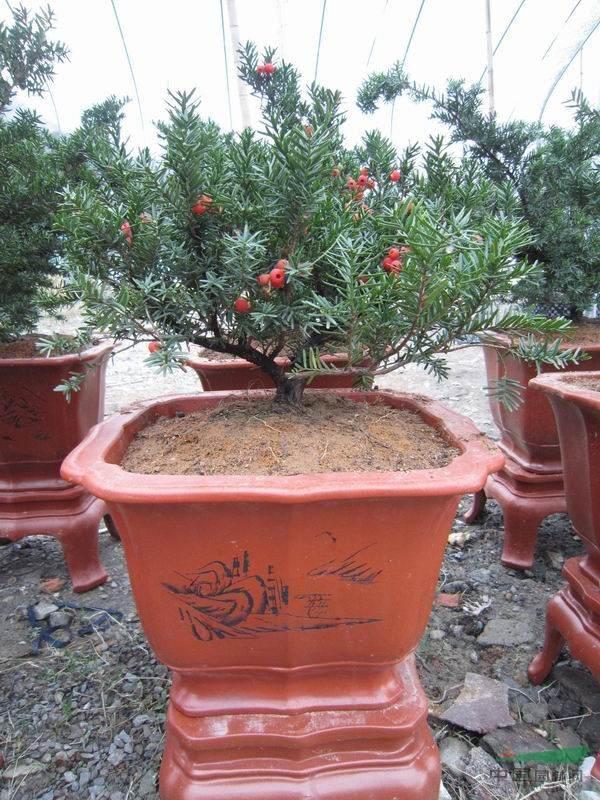制作曼地亚红豆杉的盆与营养土