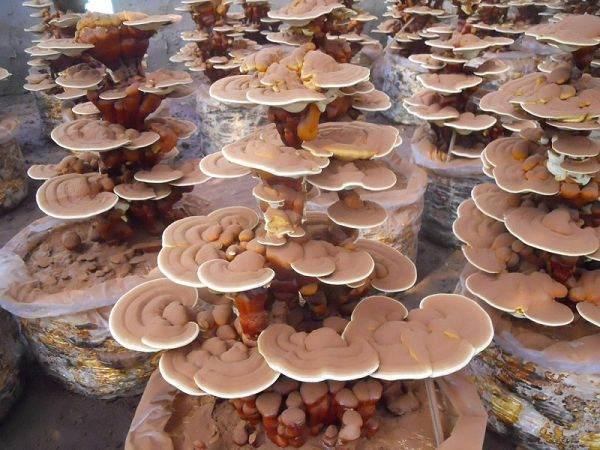 津城山西果农走上致富路 大棚培育盆景果树销售