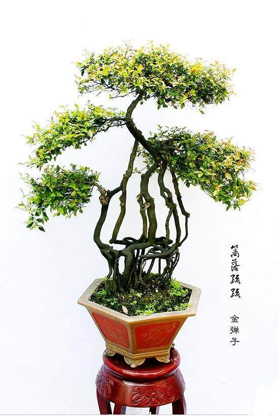 南通如皋盆景将亮相2016年世界园艺博览会