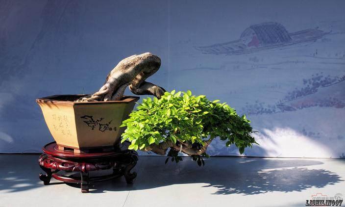 北京谋划助推小菊盆景发展