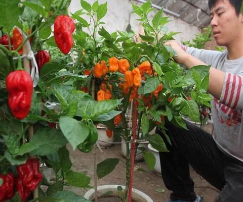 北京:延庆镇广积屯培育出30多种盆景蔬菜