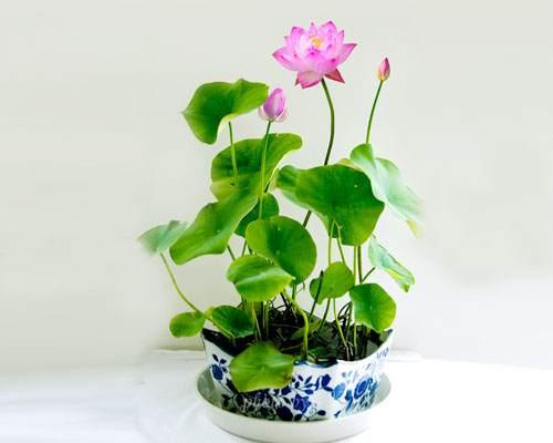 北京:地栽海棠和海棠盆景亮相陶然亭公园