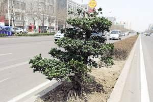 图文:天津开发区黄海路又添新景致 60余榕树盆景亮相