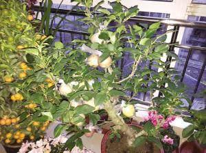 """苹果树盆景""""结出""""假苹果 天津市民购物需谨慎"""