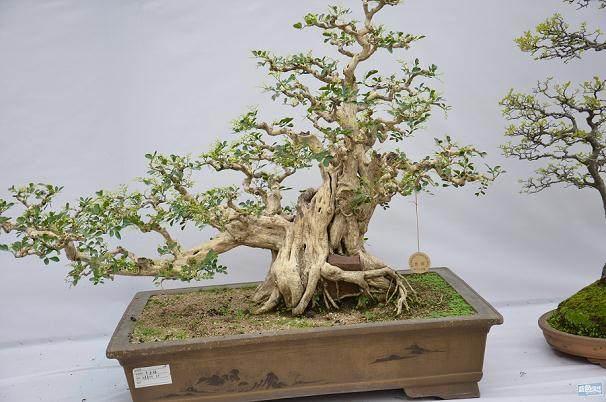 山西夫妇果农到天津 果树当做盆景卖