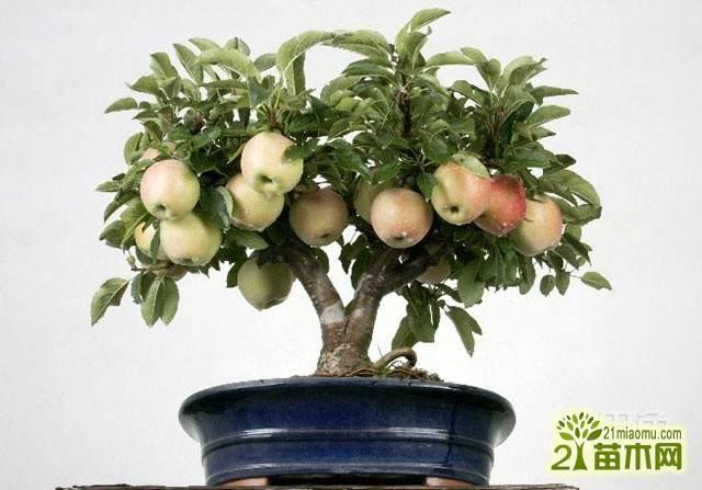 果树盆景春季发芽前怎么倒盆换土的方法
