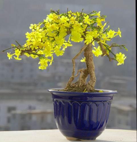 迎春花盆景秋天发了芽怎样管理越冬?