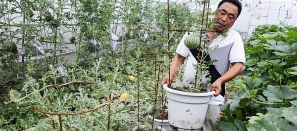 西瓜盆景受上海市民追捧
