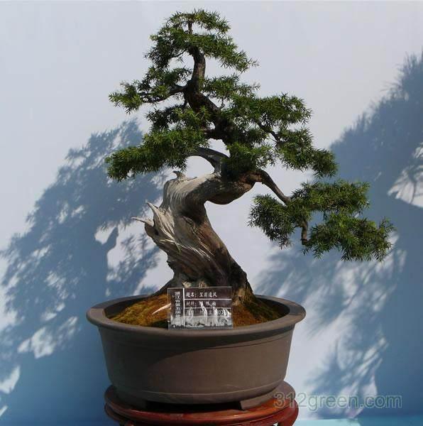 上海植物园:盆景园里松树也会开花