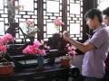 """上海古猗园杜鹃盆景展助兴首个""""中国旅游日"""""""