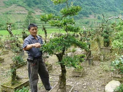 谭海庭在为盆景裁枝整形