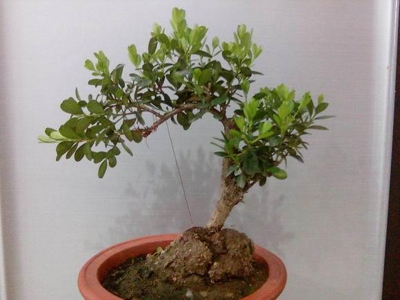怎样用扦插繁殖方法培育树桩盆景小苗 图片