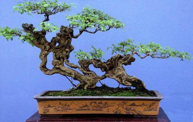 夏季树桩盆景养护以防晒为主
