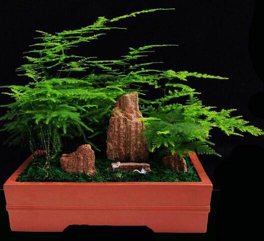 盆景植物之文竹的夏季养护要点