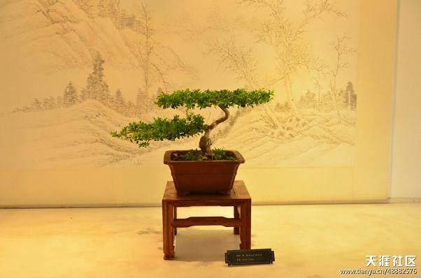苏州盆景《虬枝横空》 目前市面价值100多万元