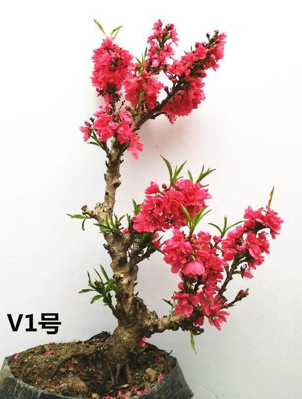 盆景桃树怎么速成栽培的9个技术