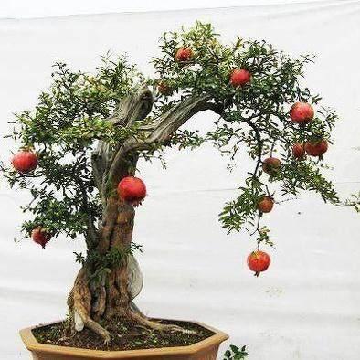 果树盆景怎么速成的3个方法