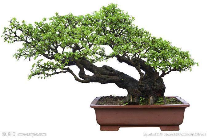 用扦插发芽法培养树木盆景的方法 图片