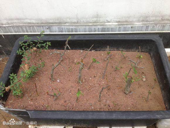 图解 我的盆景扦插发芽的小沙床