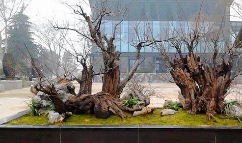 南京巨型梅花桩盆景亮相中国梅花艺术中心