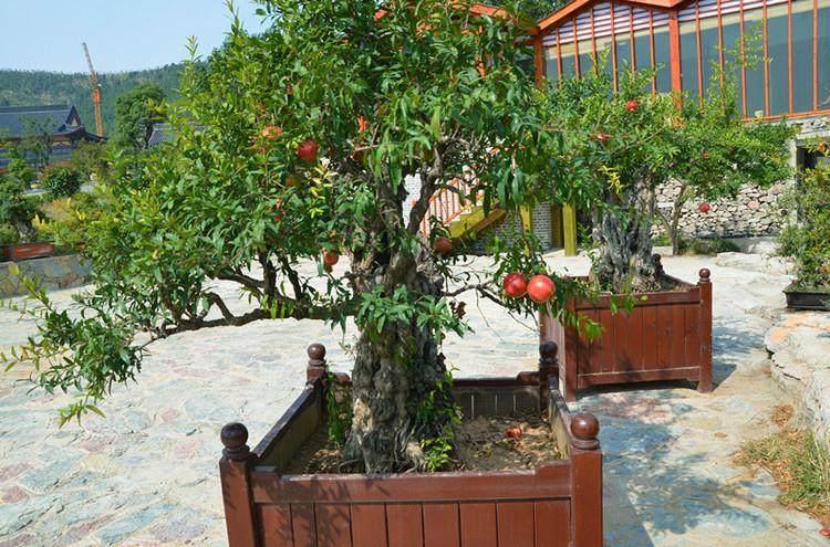 徐州恒茂果树盆景有限公司