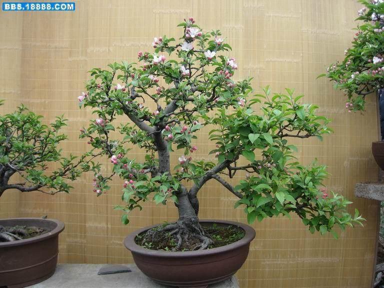 徐州果树盆景