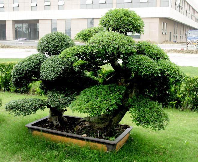 无锡红豆杉盆景获上海世博会邀请