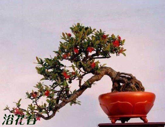 鲜枣盆景品种及怎么栽培方法 图片