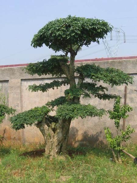 """有""""活化石""""之称的名贵树种对节白蜡在岛城安家"""