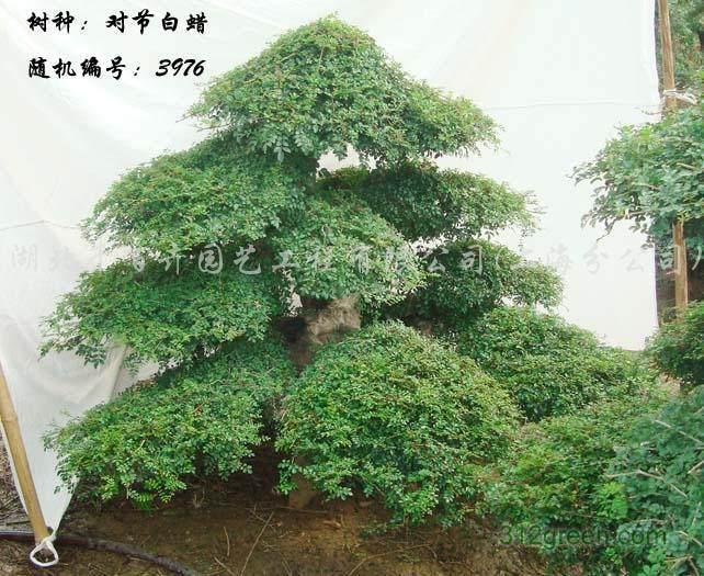 """珍稀树种""""对节白蜡""""亮相福山区河滨路"""