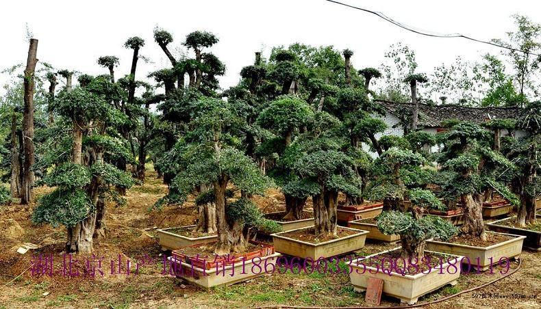 钟祥林场已形成规模为500余株的对节白蜡定植园
