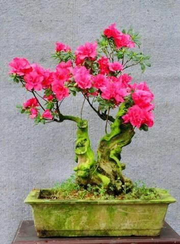 月季石榴非常适合制作盆景和盆栽观赏