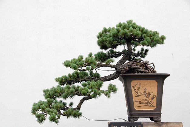 记扬州红园的盆景技师--许爷