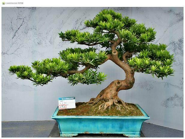 中国唯一受邀 扬州盆景大师赴美展示技艺