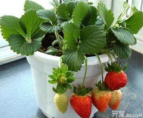 """江西全南""""蔬菜盆景""""走俏市场"""