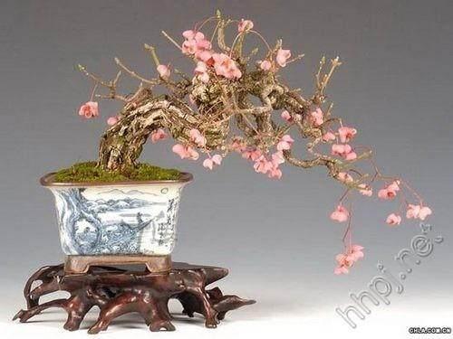 河南:卢氏县花农培育出20多种梅花盆景造型