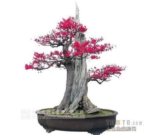 福建:浦城百年紫薇树 造型像盆景