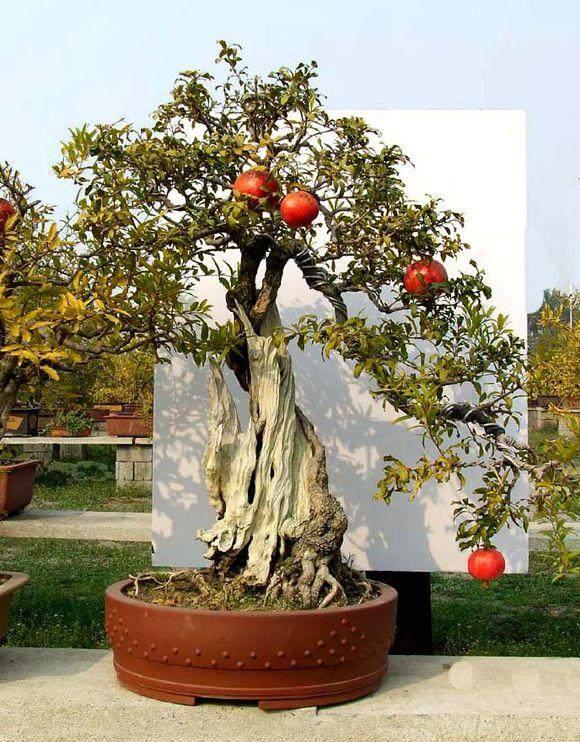 石榴盆景的发芽养护 要注意的7个方法