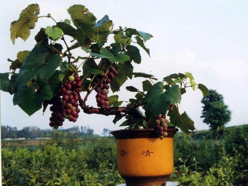 葡萄盆景的生产技术