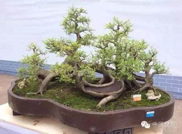 夏季树桩盆景的节水措施